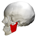 Ramus of the mandible - skull - lateral view.png
