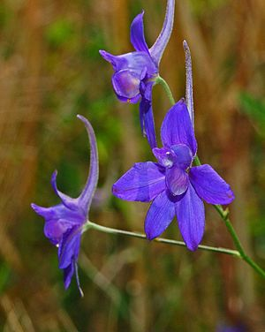 Consolida regalis - Flowers of Consolida regalis