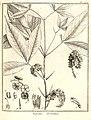 Raputia aromatica Aublet 1775 pl 272.jpg