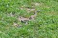 Rattlesnake in Ed R. Levin County Park.JPG