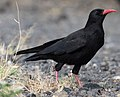 Red-billed chough (Pyrrhocorax pyrrhocorax).jpg