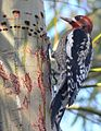 Red-breasted Sapsucker - Novato, California.jpg
