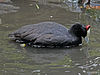 Red-knobbed Coot RWD.jpg