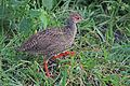 Red-necked spurfowl (Pternistis afer cranchii) immature.jpg