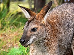 Red-necked wallaby442.jpg