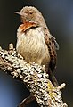 Red-throated Wryneck Jynx ruficollis.jpg