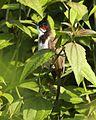 Red-whiskered Bulbul (Pycnonotus jocosus) - Flickr - Lip Kee (1).jpg