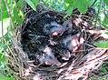 Red-winged Blackbird Nest (27432159431).jpg