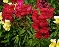 Red & Yellow Snapdragons (5382155817).jpg