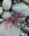 Red Algae (Rhodophyta) - Witless Bay, Newfoundland 2019-08-09.jpg