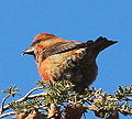 Red Crossbill (8203827671).jpg
