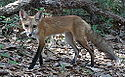Red Fox Lateral.JPG