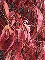 Red vines (43483614270).jpg