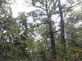 Rezerwat przyrody Dęby w Meszczach 12.13 01.jpg