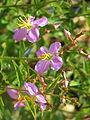 Rhexia virginica (9551643151).jpg