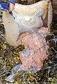 Rhizostoma octopus 75596592.jpg
