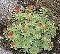 Rhodiola rosea (female s11).jpg