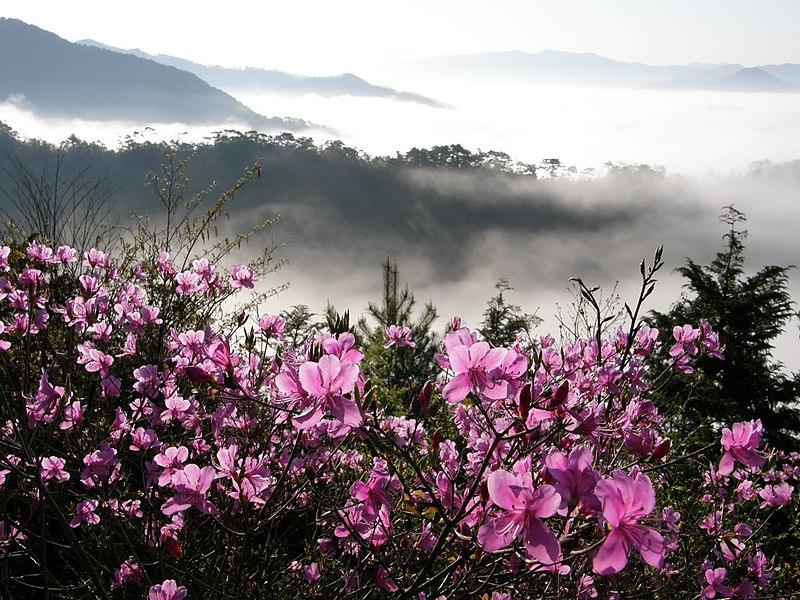 File:Rhododendron&Vast ocean of clouds、コバノミツバツツジ&篠山盆地雲海、盃ヶ岳4256293.JPG