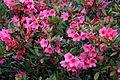 Rhododendron 'Mrs James Horlick'.jpg