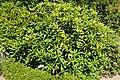 Rhododendron carolinianum - Asticou Azalea Garden - Northeast Harbor, Maine - DSC03681.jpg