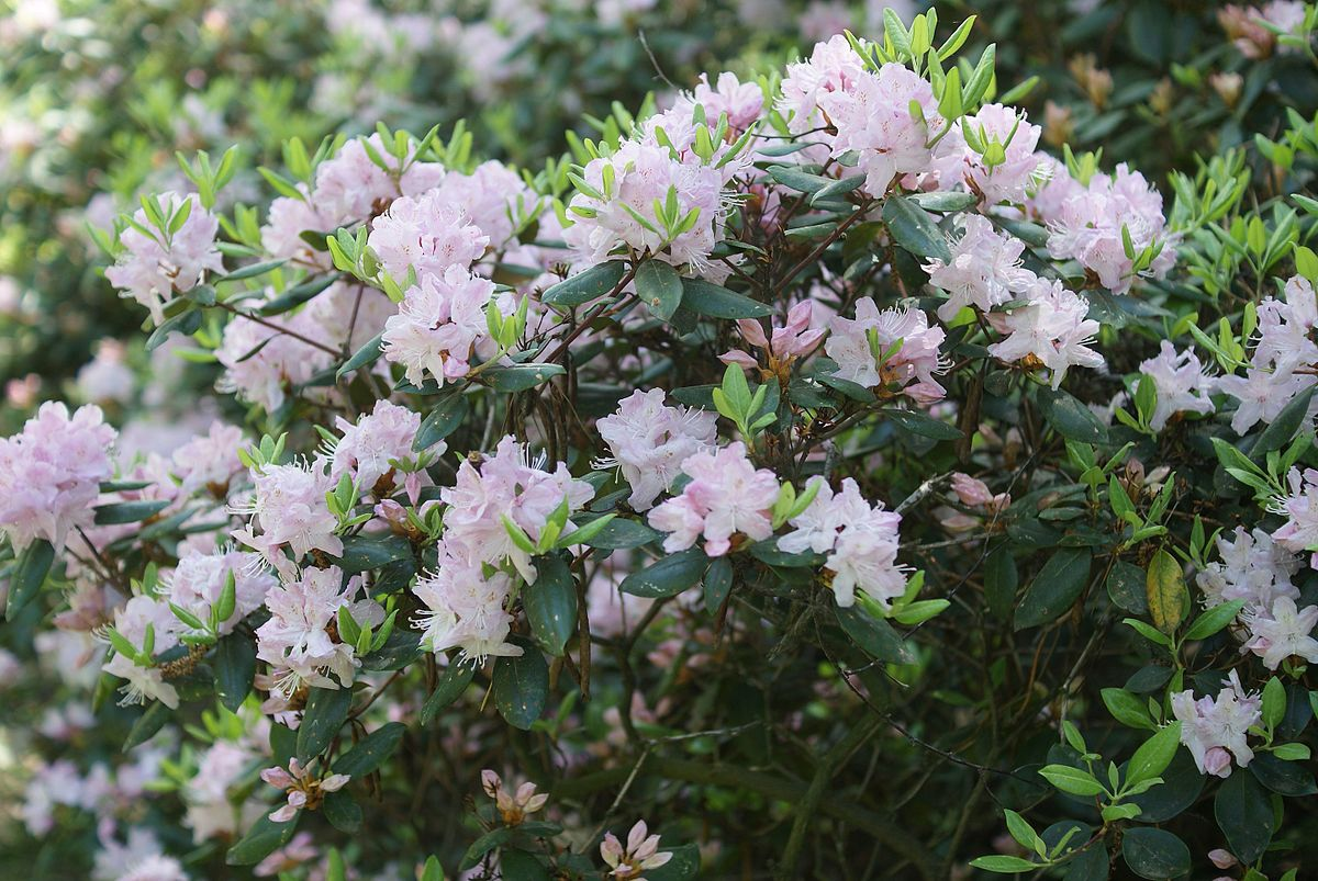 rhododendron chat sites Plant tips: powdery mildew the rhododendron chat line has an ongoing discussion covering powdery mildew and environmental conditions, which cause it.
