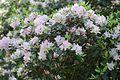 Rhododendron carolinianum in Minsk botanical garden.jpg