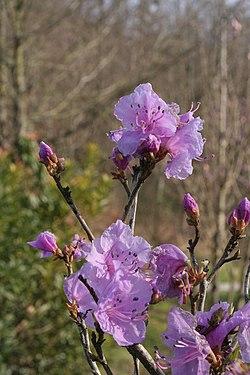 Rhododendron mucronulatum01.jpg