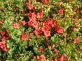 Rhododendron x obtusum1.jpg