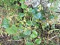 Rhoicissus tomentosa, rankend, Louwsburg.jpg