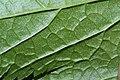 Ribes bracteosum 9140.JPG