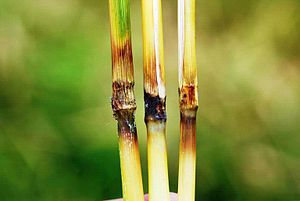 English: Photo of rice blast symptoms on rice ...