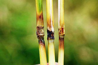 Magnaporthe grisea - Rice blast lesions on plant nodes
