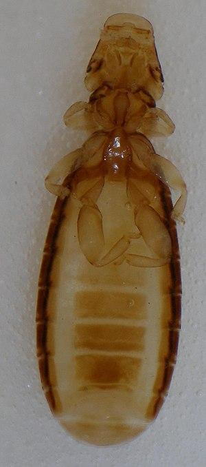 Louse - Image: Ricinus bombycillae (Denny, 1842)