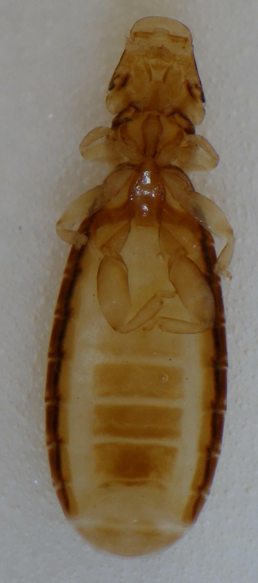 Ricinus bombycillae (Denny, 1842)