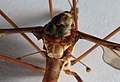 Riesenschnake Tipula maxima 2857.jpg