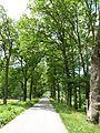 Rožmberk, památné stromořadí okolo hráze (4).JPG
