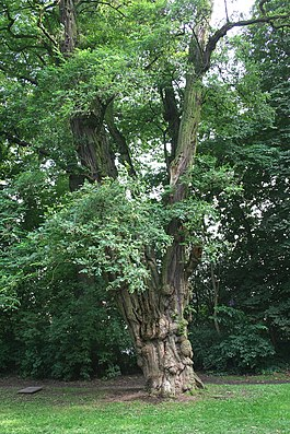 Alte Gewöhnliche Robinie  (Robinia pseudoacacia) in Waterloo (Belgien)
