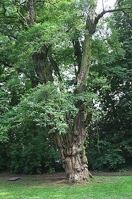 Robinia met uitzonderlijk dikke stam te Waterloo (België)