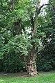 Robinia pseudoacacia JPG.JPG
