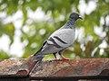 Rock pigeon (Columba livia) 6.jpg