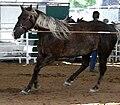 Rocky Mountain Horse.jpg