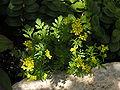 Rorippa sylvestris flowering 01.JPG
