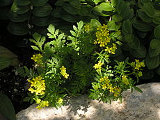 Rorippa sylvestris flowering 01.JPG