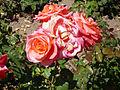 Rosa 'Floricel' P. Dot 1957 RPO3.jpg