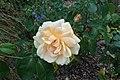 Rosa 'Lady Huntingfield' kz03.jpg