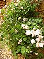 Rosa 'Perla de Montserrat' Dot planta.jpg