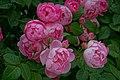 Rosa 'Raubritter' at Ishida Rose Garden in Odate, Akita, Japan.jpg