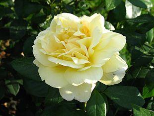 Rosa 'Sunstar' 01.jpg