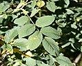 Rosa glauca leaf (05).jpg