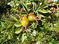 Rosa mollis fruits.jpg